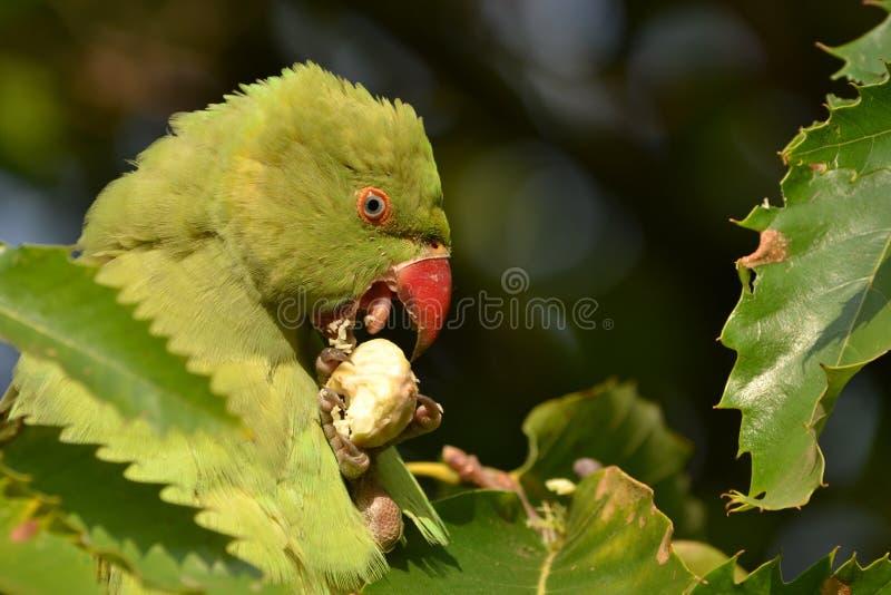 Зеленый парк Лондона длиннохвостого попугая стоковые изображения