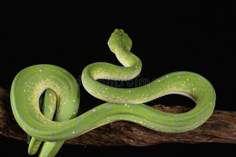Зеленый питон дерева - студия захваченное изображение стоковое фото