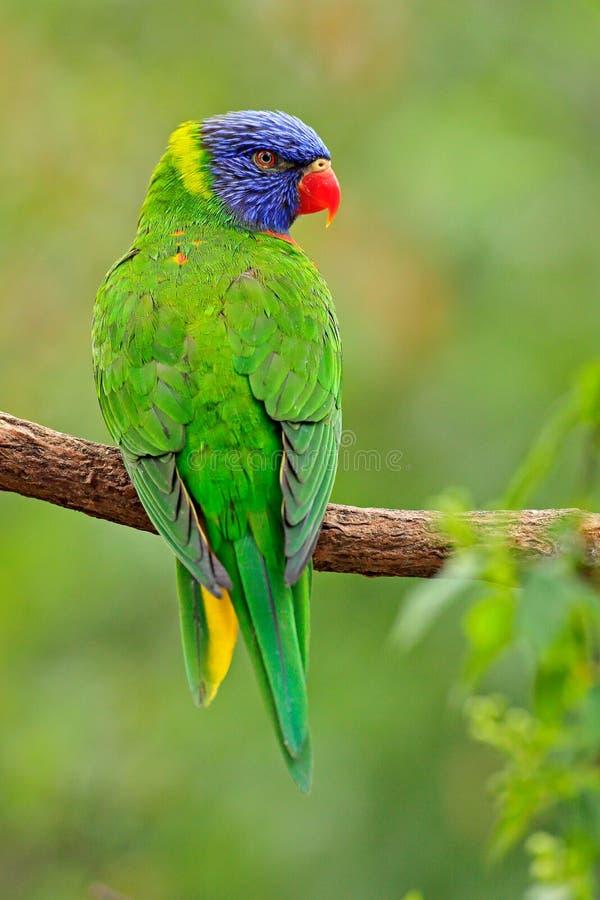 зеленый попыгай Haematodus Trichoglossus Lorikeets радуги, красочный попугай сидя на ветви, животное в среду обитания природы, Au стоковое изображение