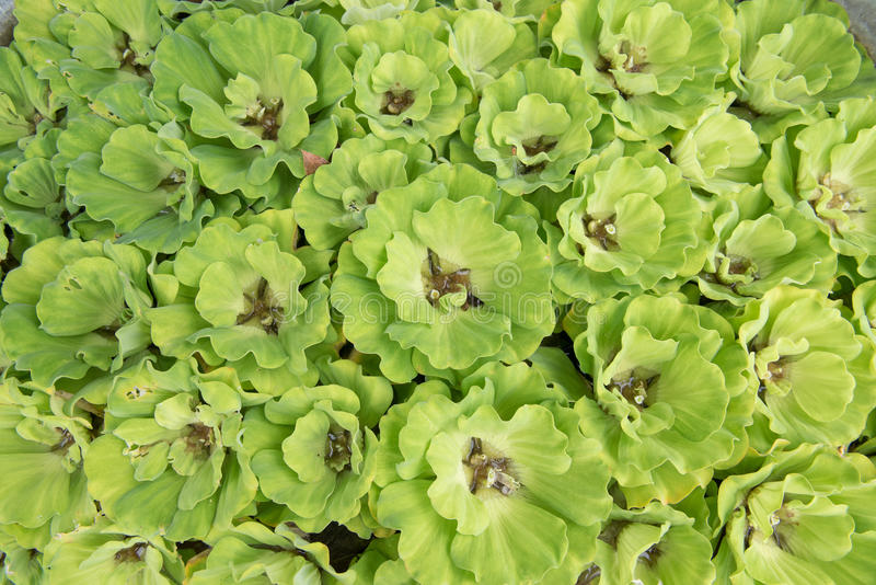 Зеленый плавая салат воды, используемая обработка сточных вод стоковая фотография