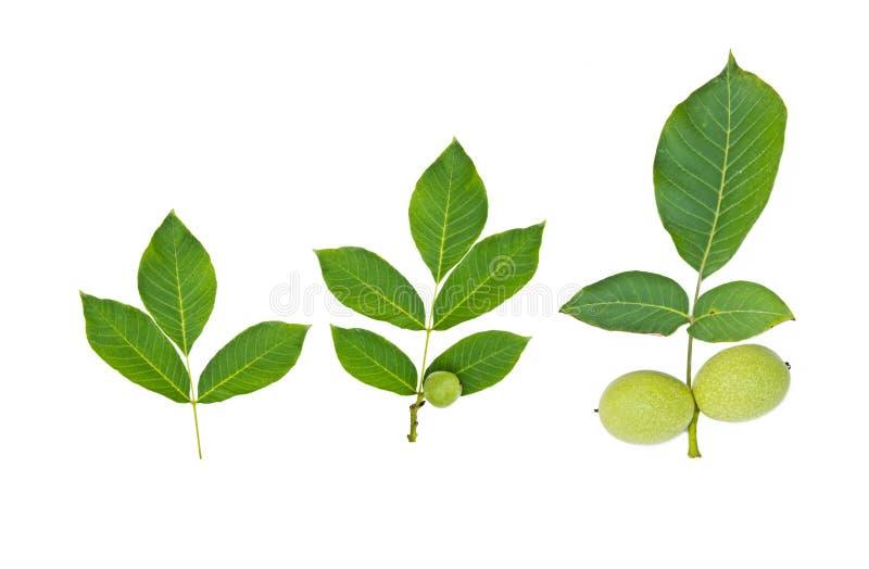 Зеленый плодоовощ грецкого ореха с лист стоковое изображение