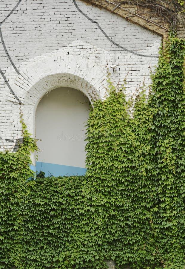 Зеленый плющ на старом здании с отверстием свода стоковое фото