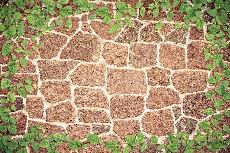 Зеленый плющ на стене стоковые фото