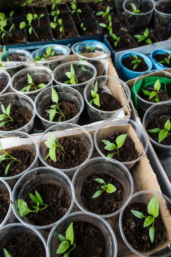 Зеленый расти саженца стоковое изображение