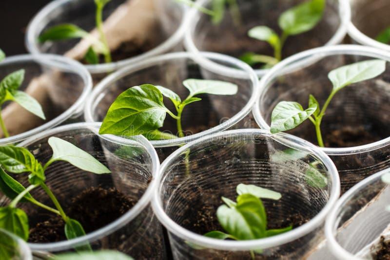 Зеленый расти саженца стоковое изображение rf
