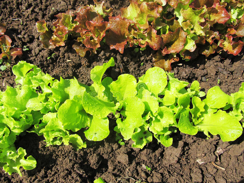 Зеленый салат в огороде стоковые фотографии rf