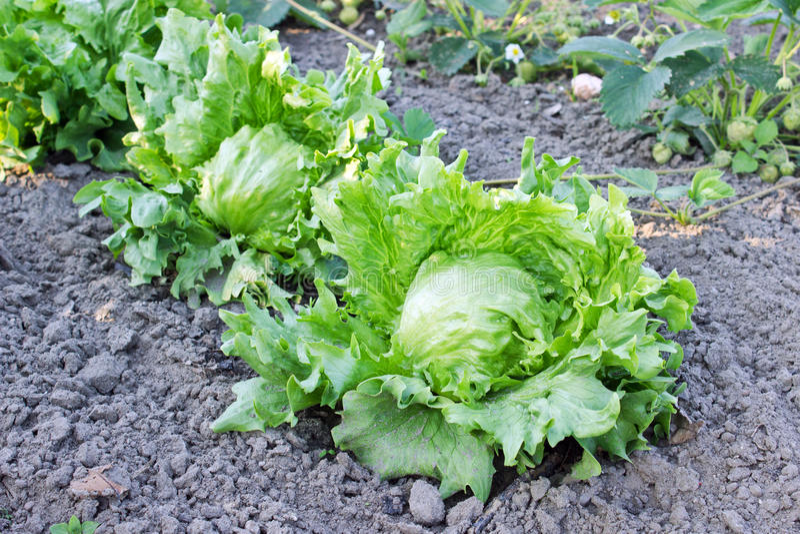 Download зеленый салат стоковое фото. изображение насчитывающей овощи - 41663248