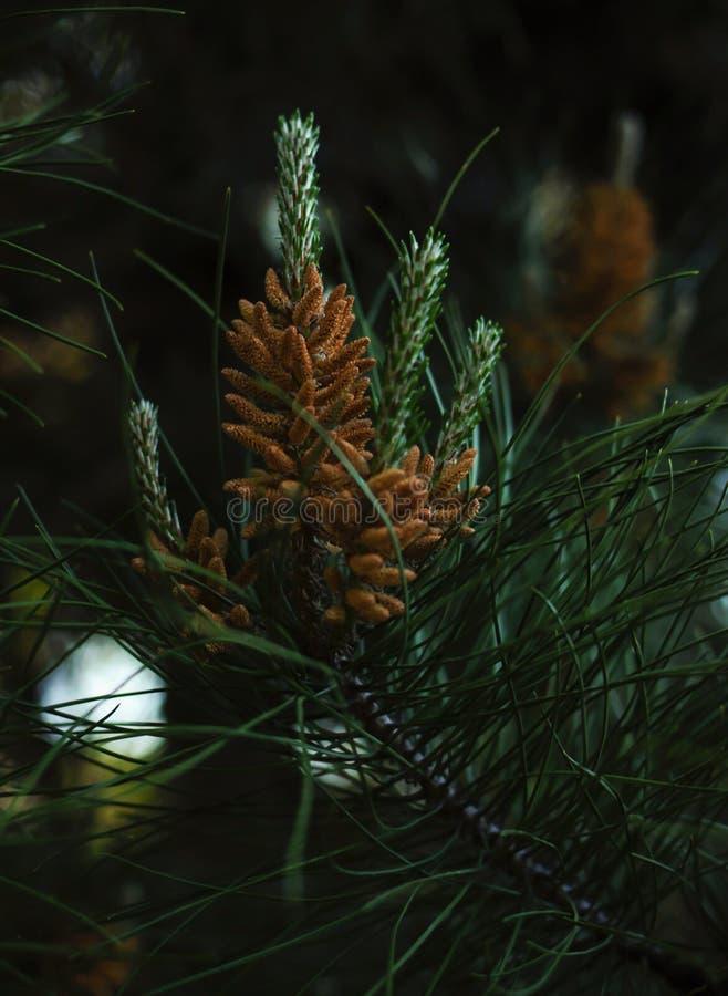 Зеленый спрус весной стоковое фото rf