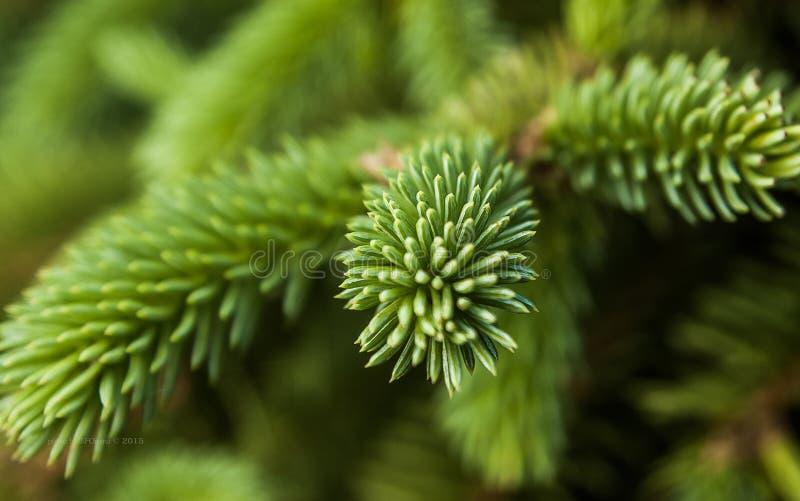 зеленый спрус стоковые изображения rf