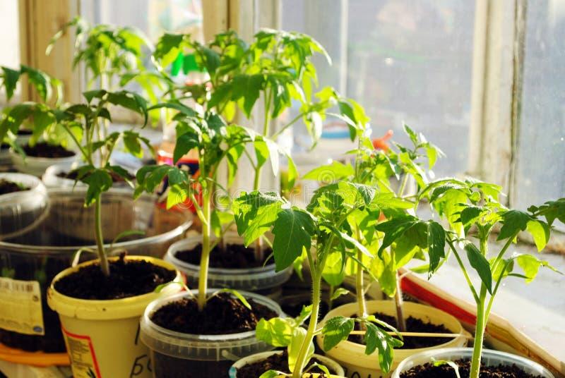зеленый томат ростков сеянцев стоковые фотографии rf