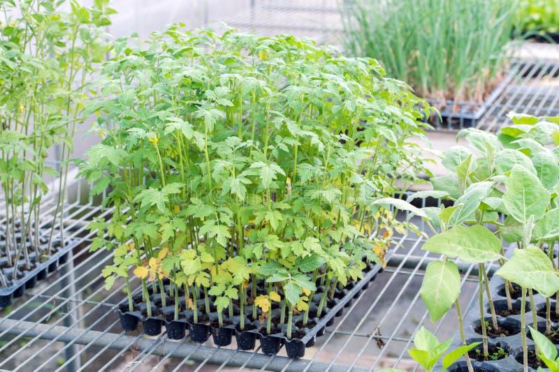 зеленый томат ростков сеянцев стоковые изображения rf