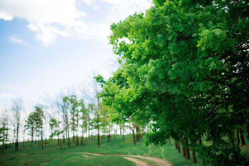 Зеленый дуб выходит против голубого неба с облаками стоковые фотографии rf