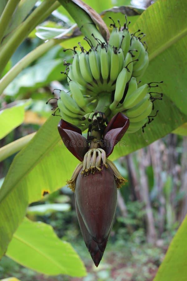 зеленый цвет банана большой яркий близкий выходит вал вверх стоковое фото rf