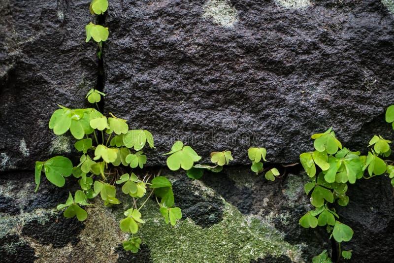 Зеленый цвет выходит завод растя на большой зазор стены утеса в сочный японца стоковое изображение