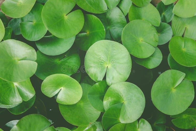 зеленый цвет выходит лотос стоковые изображения rf