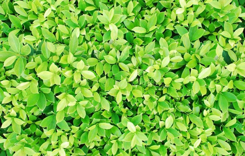 Зеленый цвет выходит предпосылка куста стоковая фотография rf