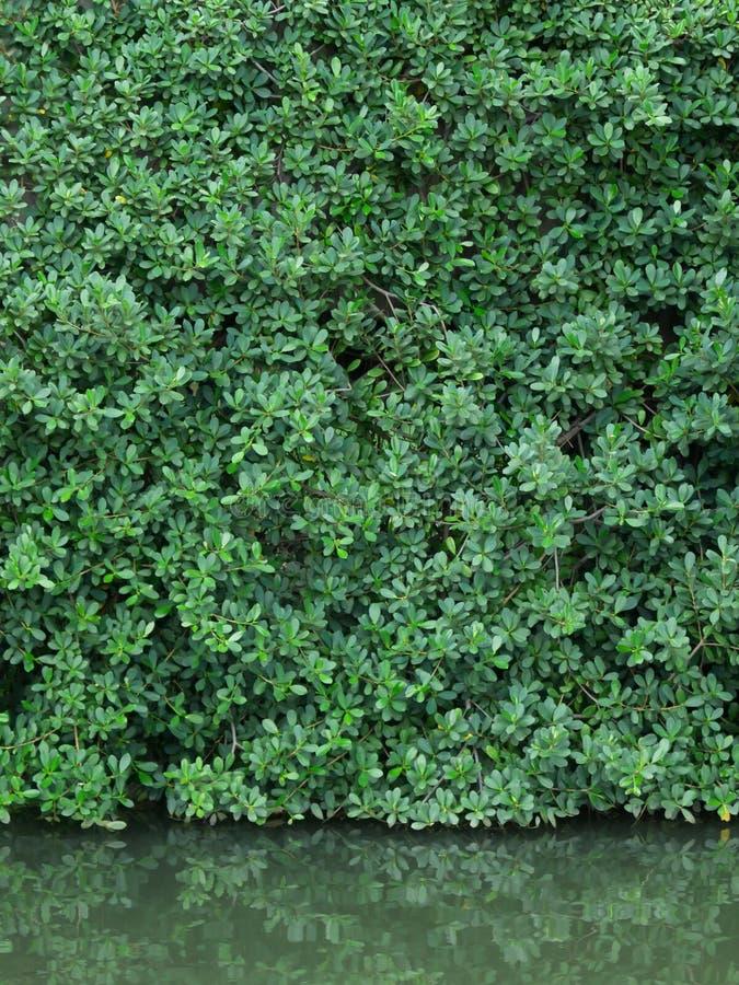 Зеленый цвет выходит стена и реальный отразите в weter стоковые изображения rf