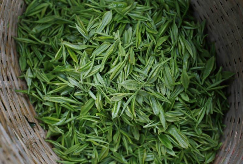 зеленый цвет выходит чай стоковое фото