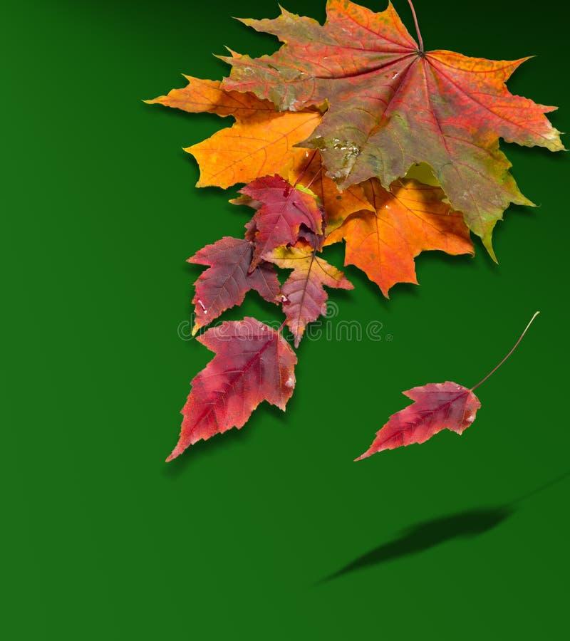 Зеленый цвет кленовых листов осени красный желтый свободное поле для текста внутри стоковое фото