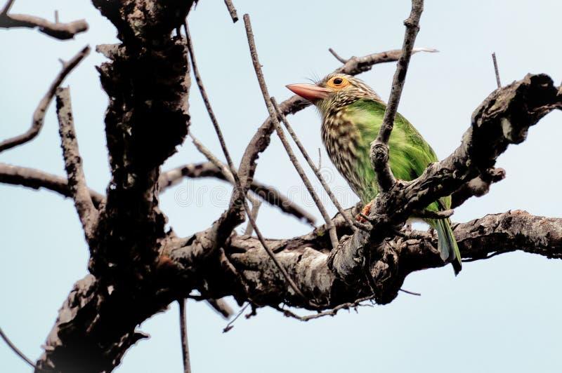 Зеленый цвет птиц стоковая фотография rf