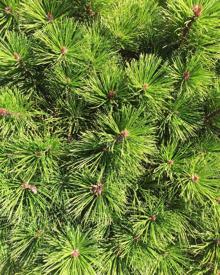 Зеленый цвет сосны стоковые изображения rf