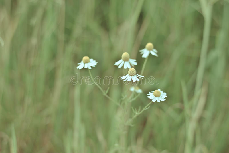 зеленый цвет цветка поля стоцвета предпосылки стоковое изображение rf