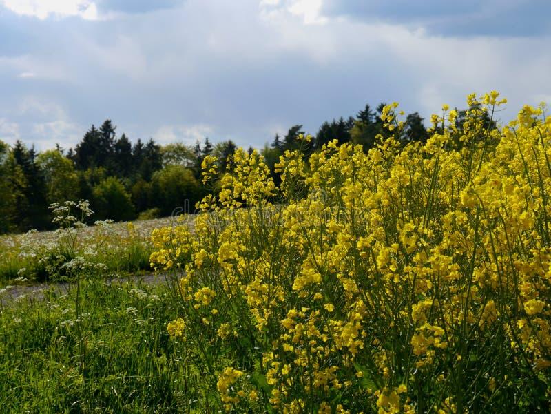 Зеленый цвет fields лес Германия заводов природы солнца лета стоковая фотография rf