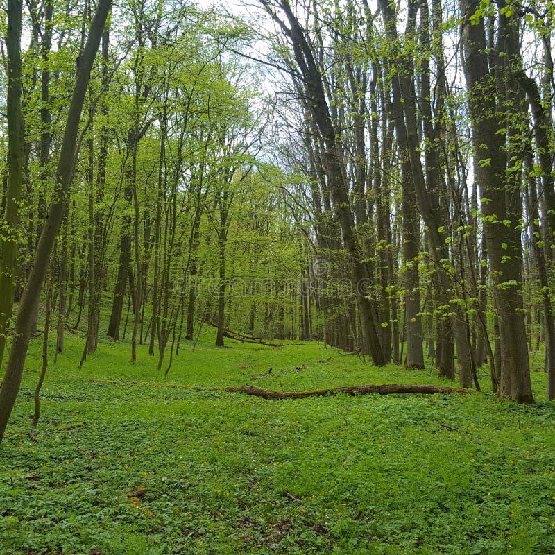 Зеленый цвет forrest в красивой природе стоковое фото rf