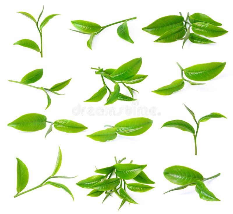 зеленый чай листьев стоковое фото rf