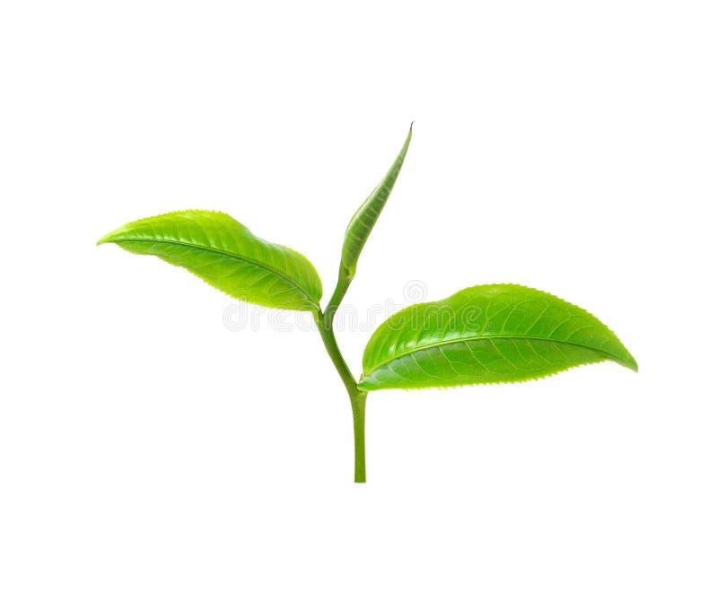 зеленый чай листьев стоковое фото