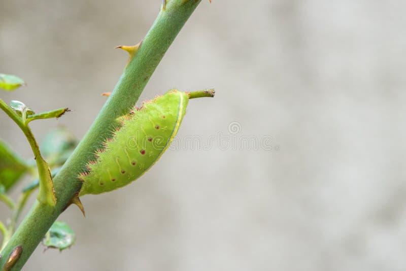 Зеленый червь есть ветвь поднял стоковые фотографии rf