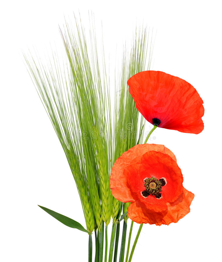 Зеленый ячмень с красными цветками мака стоковое фото
