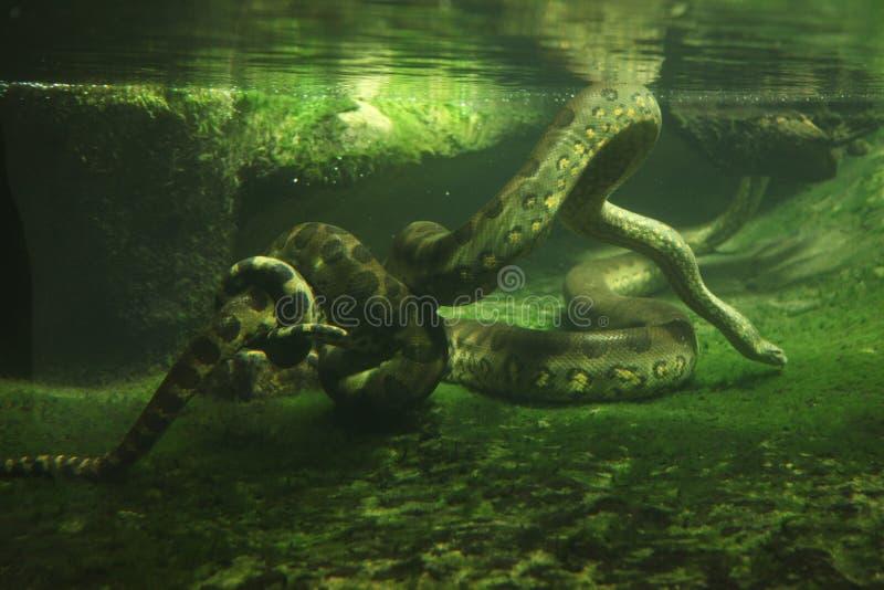 Зеленый anaconda (murinus Eunectes) стоковое изображение rf