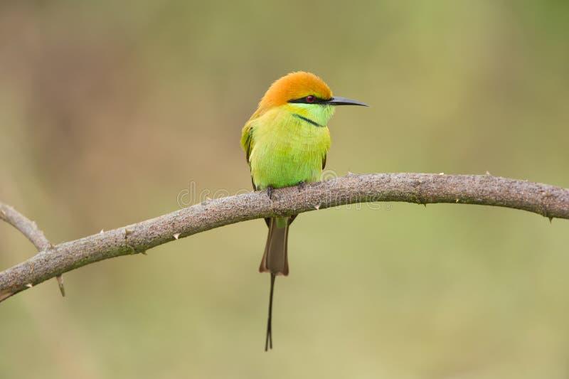 Зеленый Bee-eater стоковая фотография rf