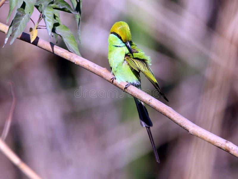 Зеленый Bee-eater стоковое изображение rf