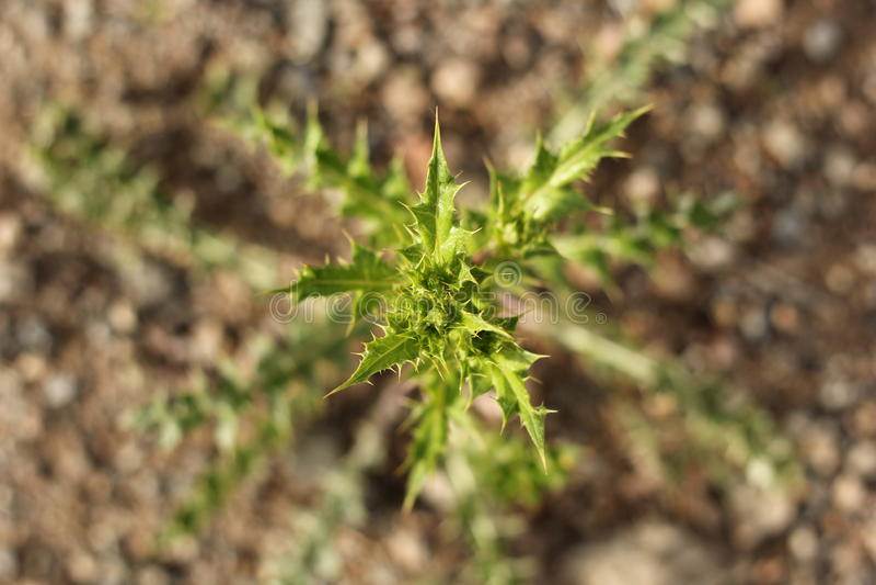 Зеленый Bur стоковые фотографии rf
