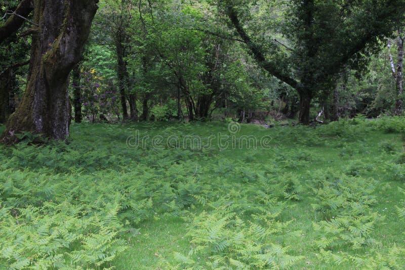 Зеленый Glade в Ирландии стоковое фото