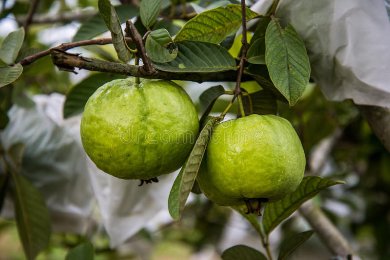 Зеленый guava на дереве стоковое изображение