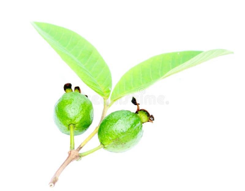 Зеленый Guava стоковая фотография