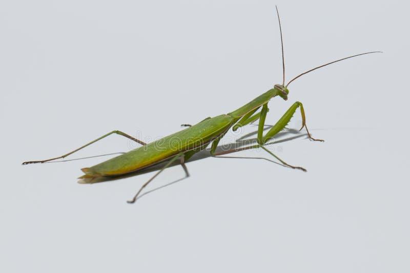 зеленый mantis стоковое изображение rf