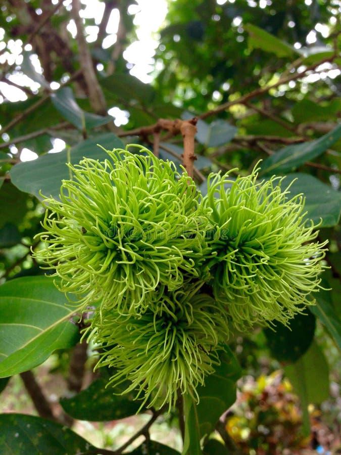 зеленый rambutan стоковое изображение