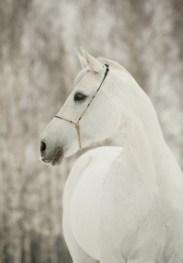 зима белизны лошади стоковые фотографии rf