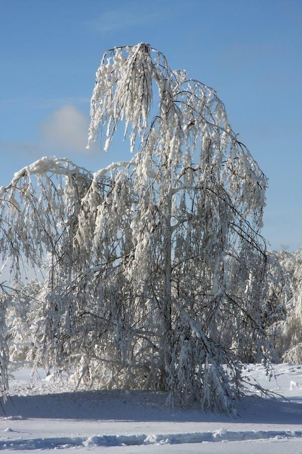 зима березы стоковая фотография