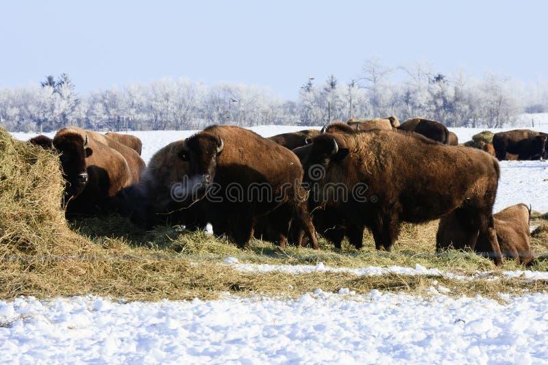 Download зима буйвола стоковое изображение. изображение насчитывающей национально - 17614157