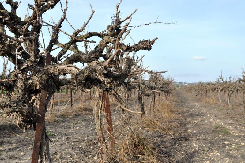зима виноградника стоковые фото