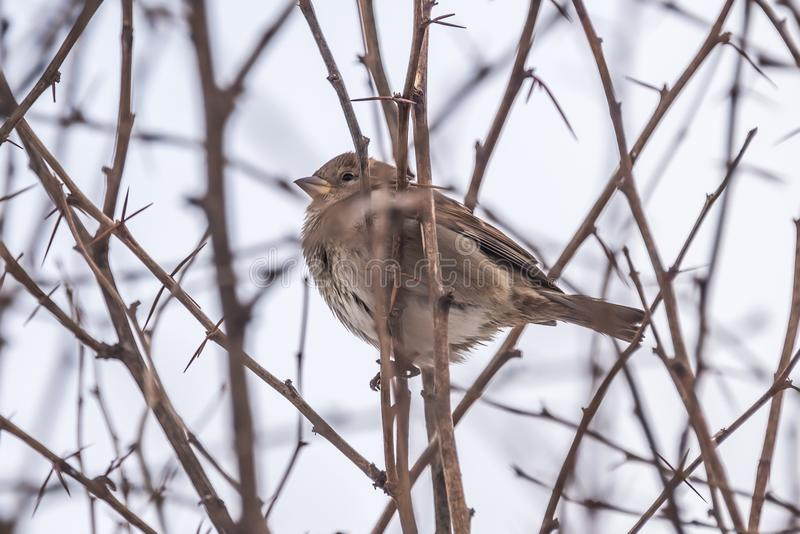 Зима воробья сиротливая сидя на ветви стоковые фотографии rf