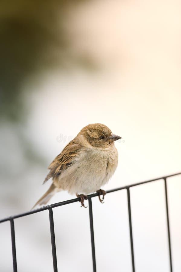 зима воробья утра стоковые фотографии rf
