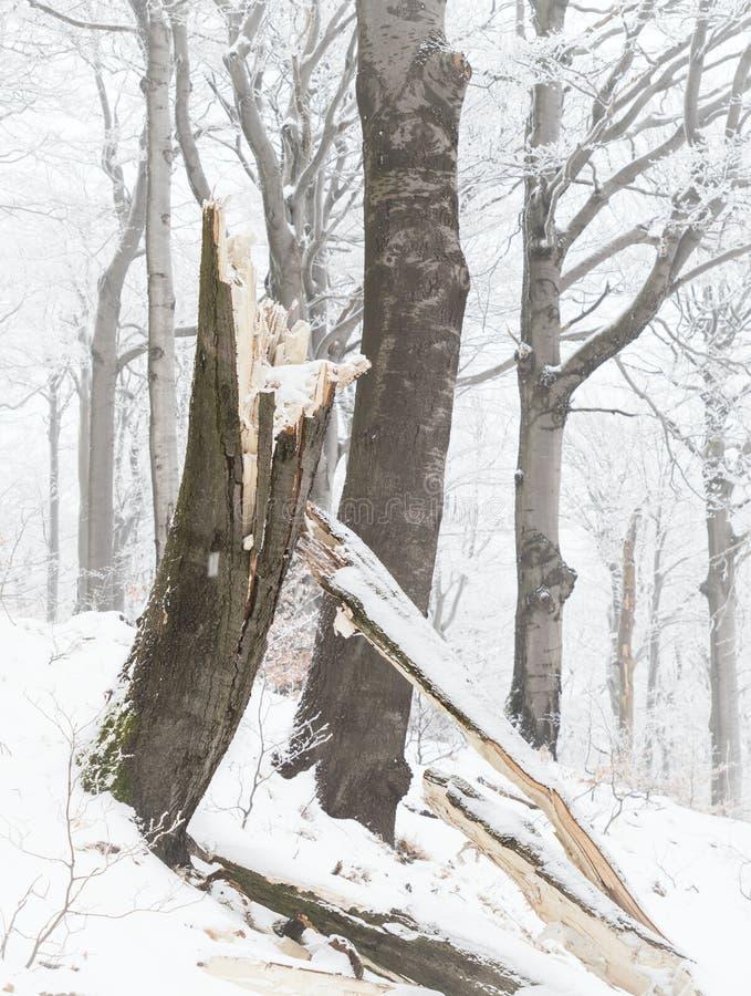 Зима в лесе бука - сломленном стволе дерева стоковые изображения rf