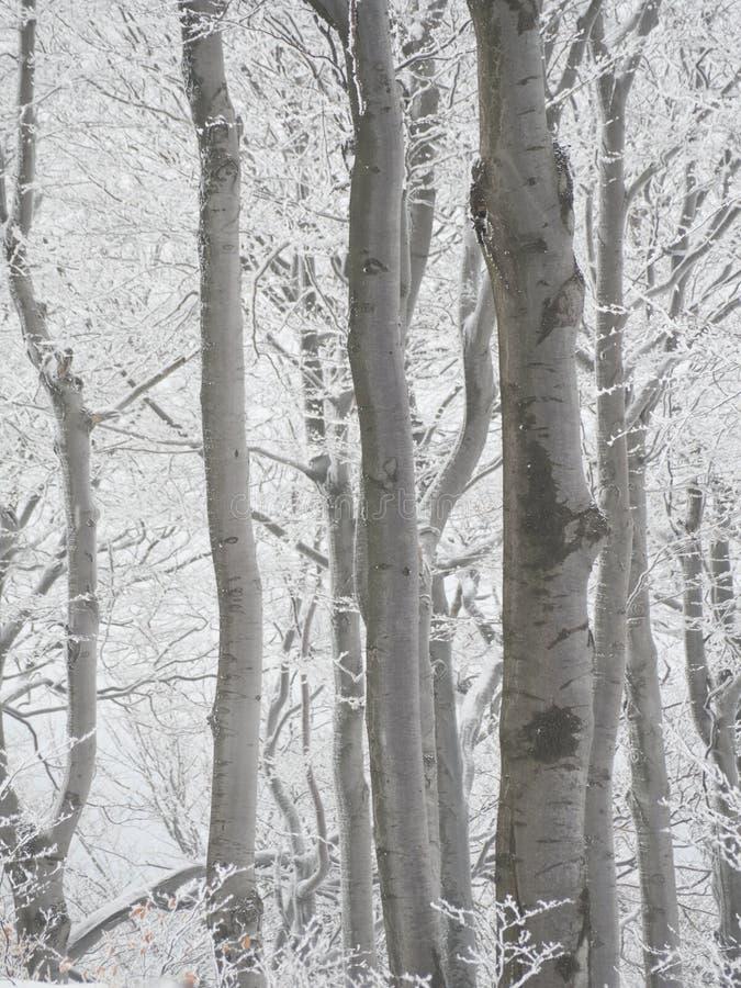 Зима в лесе бука стоковое фото rf