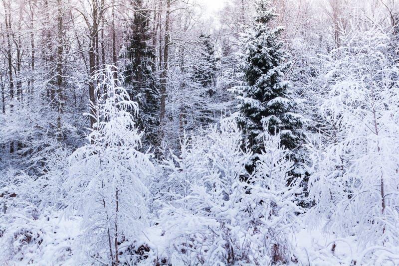 Зима в пуще стоковая фотография rf